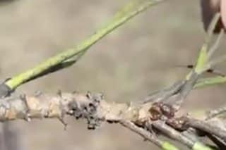 La Regione Lazio investe 500mila euro per salvare i pini di Roma dalla cocciniglia tartaruga