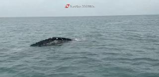 Avvistata balena grigia lunga 7 metri a Fiumicino: si è avvicinata alla foce del Tevere