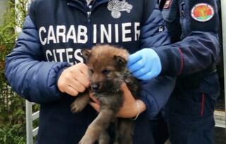 Operazione 'Cappuccetto rosso': salvati e sequestrati 23 cuccioli di lupo selvatico