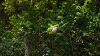 """Roma invasa dai pappagalli, l'esperta: """"Non sono solo belli, riproduzione è fuori controllo"""""""