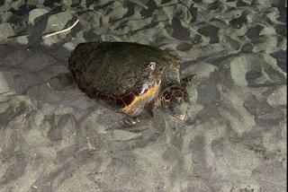 La bella scoperta a Ostia: una tartaruga marina ha deposto 103 uova sulla spiaggia