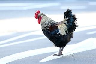 Lodi, il gallo canta troppo presto e infastidisce i vicini: multa salata per il proprietario