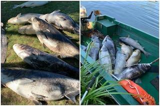 Migliaia di pesci morti nel lago di Sartirana: la strage forse provocata dall'inquinamento
