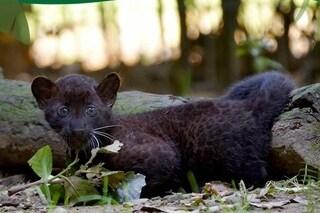 Nel parco faunistico Le Cornelle è nato un cucciolo di pantera nera: un concorso online per il nome
