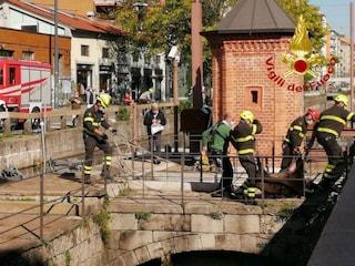 Milano, branco di cinghiali a passeggio lungo la Darsena: catturati due esemplari