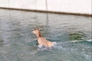 Cervo cade nel Naviglio Martesana: salvato e adottato dai volontari