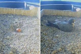 I falchi del Pirellone hanno deposto il primo uovo: il nuovo nato atteso per Pasqua