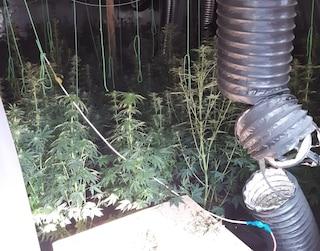 Milano, allestisce serra con 180 piante di marijuana nel campo nomadi di Vaiano Valle: arrestato