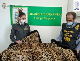 Traffico di specie protette: all'aeroporto di Malpensa sequestrata una pelliccia di giaguaro