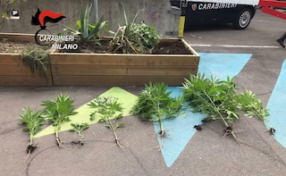 I carabinieri scoprono 7 piante di marijuana in una fioriera pubblica di una piazza di Milano
