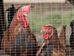 Castiglione delle Stiviere, incendio in un allevamento: morte quasi 72mila galline