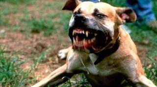 Nova Milanese, cane azzanna testicoli e pene di un uomo: portato in ospedale in codice giallo