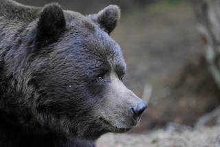 La nuova vita di due orsi bruni in Valtellina: erano stati sequestrati a un circo in Bulgaria