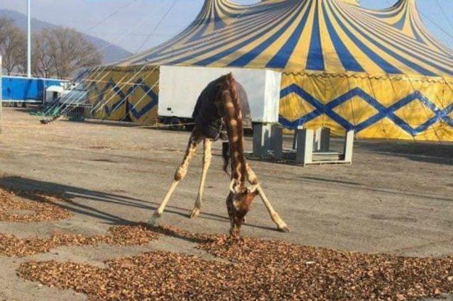 La giraffa del Circo Orfei fotografata al freddo in una posa innaturale