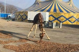 Brescia: giraffe, zebre e cammelli lasciati al freddo, denunciata proprietaria del Circo Orfei