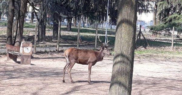 Il cervo trovato in un parco a Cavenago Brianza (foto Facebook)