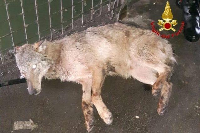 Il lupo salvato dai vigili del fuoco (Foto Vigili del fuoco)