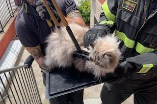 Monza, gatto cade dal balcone e rimane infilzato nella recinzione: salvato dai vigili del fuoco