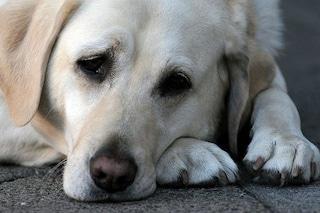 """Lecco, cane mangia bocconi avvelenati e i padroni lasciano un cartello: """"Siete dei vigliacchi"""""""