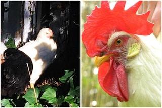 """Milano, gallina """"trans"""" si trasforma in gallo: """"Non fa uova e ha la cresta"""". L'etologo: """"Possibile"""""""