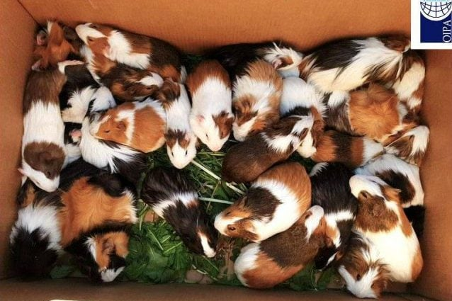 Alcuni dei porcellini d'India salvati (Foto: Oipa)