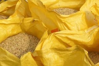 Maxi sequestro di riso nel Pavese: quattromila quintali di risone in cattivo stato di conservazione