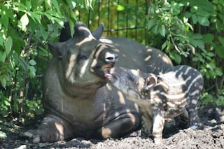 """Fiocco rosa al Parco delle Cornelle: è nata la piccola tapira """"Lodi"""""""