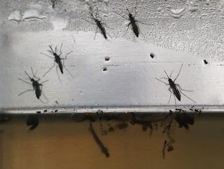 Caso di febbre dengue a Buccinasco: cittadino colpito dal virus dopo un viaggio all'estero