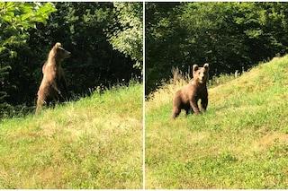 Brescia, orso fotografato a pochi metri da un agriturismo a Collio di Vobarno
