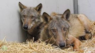 La commovente storia di Ambrogio e Diana: i lupi salvati dal Naviglio e da un canale tornano liberi