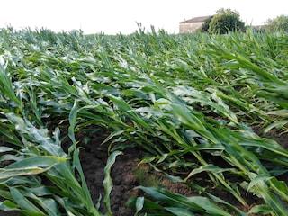 Bufera di vento si abbatte sul Mantovano: danni all'agricoltura, allettati campi di mais