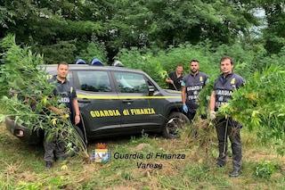 Varese, scoperta nei boschi una maxi piantagione di canapa illegale: denunciato un 30enne