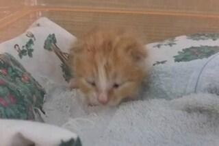 Grandate, gattino di pochi giorni trovato nella spazzatura: caccia a chi lo ha abbandonato