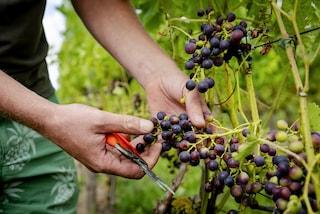 Maltempo e grandine, il clima pazzo in Lombardia frena la vendemmia: meno 20 per cento di grappoli