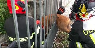 Capriolo incastrato in una cancellata a Castelveccana: salvato e liberato dai vigili del fuoco