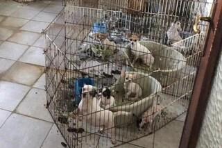 Scoperto allevamento lager nel Pavese: all'interno cani e gatti ammassati tra i propri escrementi