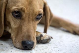 Il padrone ha un malore dopo una passeggiata, cane tenta di dare l'allarme e chiedere aiuto