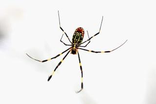 In ospedale per il morso di un ragno: uomo di 41 anni ricoverato in codice rosso a Varese