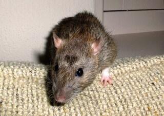 Milano, controlli dei Nas nelle scuole: trovato un topo morto nel cortile di un istituto elementare