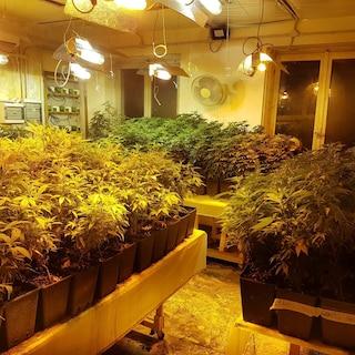 Pavia, centinaia di chili di marijuana in una cascina: arrestato imprenditore agricolo