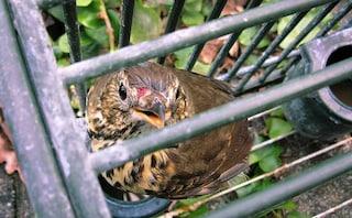 Il governo diffida la Regione Lombardia sulla caccia: stop agli uccelli vivi da usare come richiamo