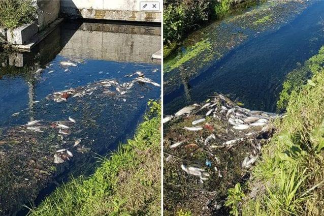 I pesci morti nel canale in via Ripamonti (Foto Alessandro Bramati via Facebook)