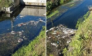 """Strana moria di pesci in un canale alla periferia di Milano: """"Odori nauseabondi"""""""