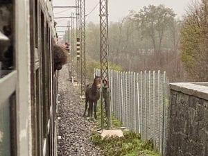 Il cavallo sui binari (Foto di Jacopo P. dalla pagina Fb Amici pendolari tratta Domodossola–Arona–Milano)