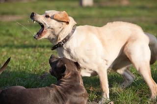Milano, nuovo regolamento animali: un patentino per i cani aggressivi e falchi contro i piccioni