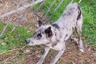 Colzate, terrorizzato e legato col fil di ferro: cane abbandonato salvato dai volontari