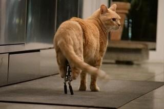 Milano, tutti pazzi per Vito: il gatto con le protesi diventato star dei social network