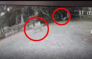 Lupo insegue e uccide un capriolo nel cortile di un'abitazione a Broni: la scena ripresa in un video