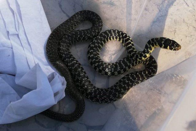 Il serpente trovato dalla signora (Foto: Enpa Milano)