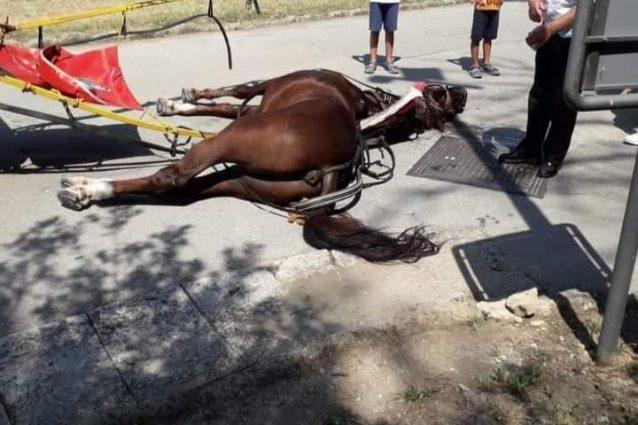Il cavallo deceduto per il troppo caldo, fotografati da un turista.